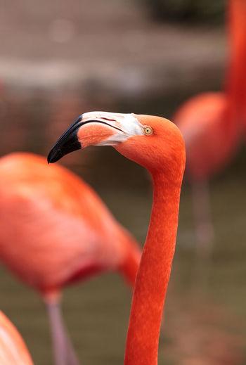 Pink Caribbean flamingo, Phoenicopterus ruber, in the middle of flock flamingos during breeding season. Animal Themes Bird Birds Caribbean Flamingos Day Flamingo No People Outdoors Phoenicopterus Ruber Pink Bird Wilfbird