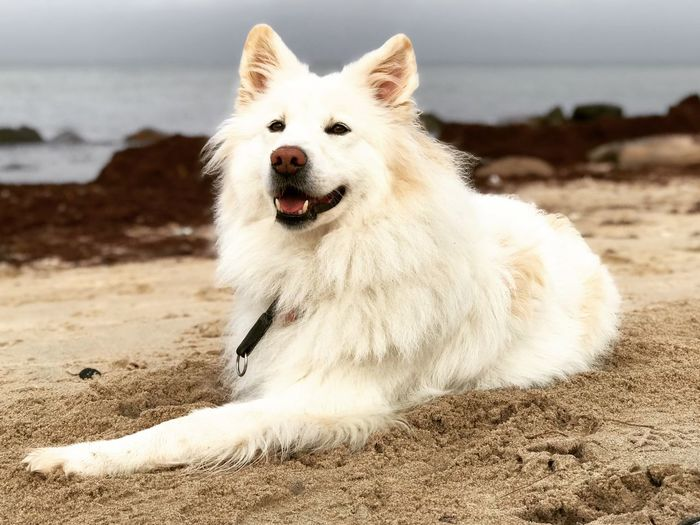 One Animal Pets Dog White Color Sand Focus On Foreground