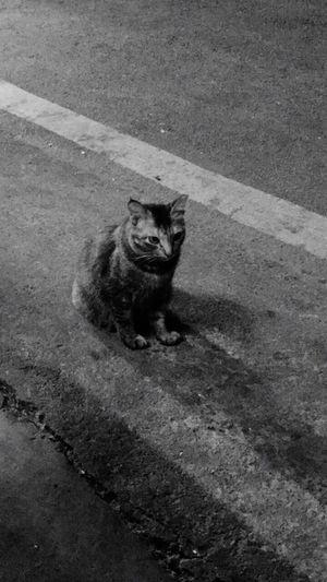 Portrait of cat sitting on road