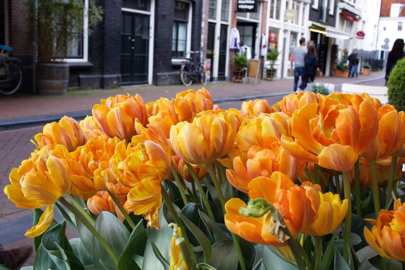 Tulips in Amsterdam Street Tulips In The Springtime Tulips Flower Petal Freshness Focus On Foreground Beauty In Nature Blooming Close-up Orange Tulips Tulips In Spring Tulips Of Amsterdam EyeEm Nature Lover Street Amsterdam Streets Dutch Tulips Tulips In Holland Street Photography Colourful Tulips Colourful Flowers City Tulips Flora Flower Head Outdoors Fragility