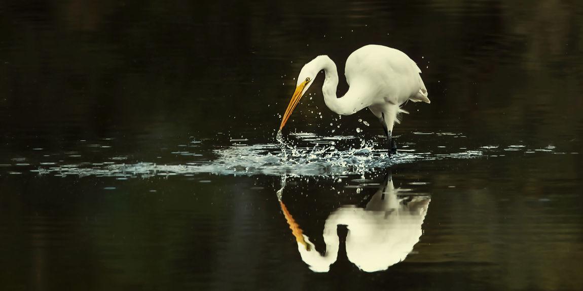 Blackandwhite Egret Egret Fishing Reflection Tranquility Water