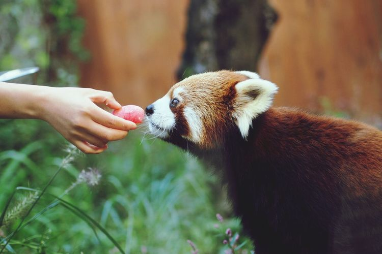 Cropped Hand Feeding Red Panda At Seoul Grand Park