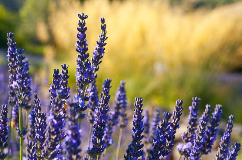 Close-Up Of Lavenders Blooming In Park