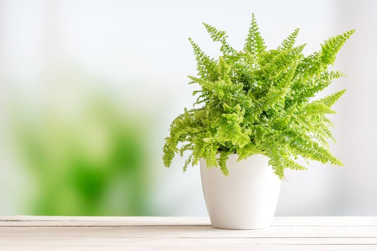 Fern plant in a flowerpot on a wooden table Green Fern Decor Interiors EyeEm Selects Growth Table Plant Potted Plant Green Color Leaf Close-up No People White Background Nature Freshness Indoors  Tree Fragility Day