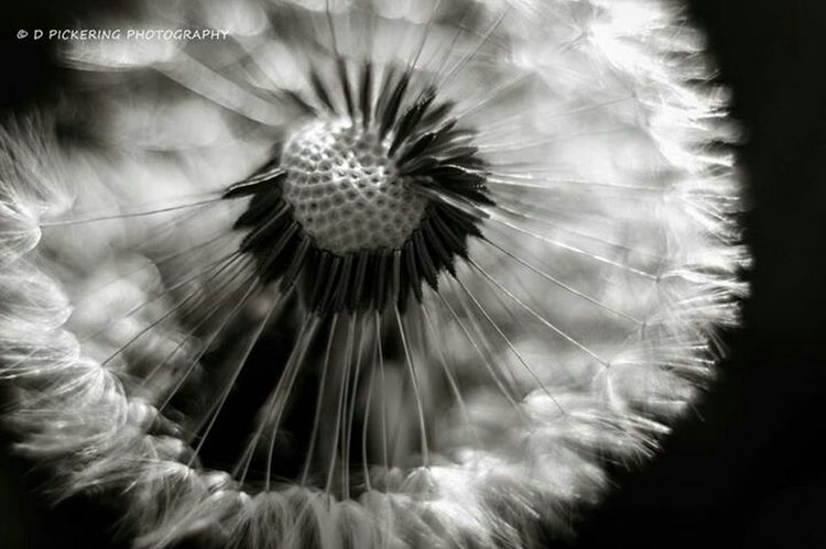 Make a wish... Macro Dandelions Nature_collection Eye4photography  Bw_collection EyeEm Nature Lover EyeEm Best Edits