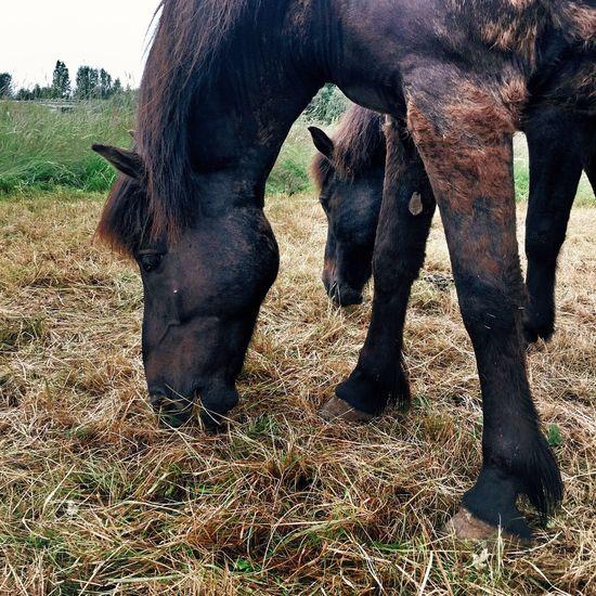 Grassing Feeding Horses Icelandic Horse Horses Brown Horse