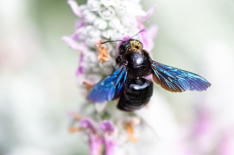 Violet carpenter bee... Insect Photography Pollen Pollination Lambs Ear Stachys Byzantina Xylocopa Violacea Violet Carpenter Bee Carpenter Bee Wildbee Solitary Bee Wild Bee Bee EyeEm Selects Insect Invertebrate Animal Themes One Animal Animal Animal Wildlife Flower Close-up Flowering Plant Plant Beauty In Nature Animal Wing Flower Head Petal Fragility Nature Freshness