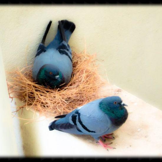 Love their bonding !! Lovebirds Birds Of EyeEm  Birds Pigeon Bird  Pigeon Beautifulcreatures Bird