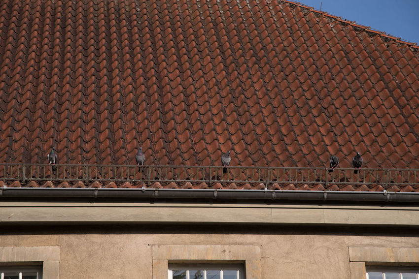 Photographer's Walk On An Early Sunday Morning Day Detmold, Germany Low Angle View Morning Outdoors Pidgeons Roof Sunday Morning Town