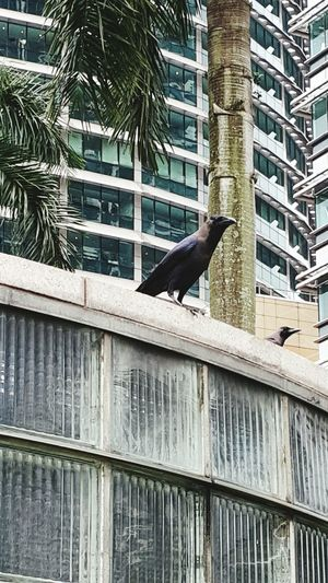 Living Bold Crow in the City Eye4photography  EyeEm Best Shots Eye Em Nature Lover EyeEmBestEdits Malaysia Scenery Photoshoot Crow Bird Photography Birds