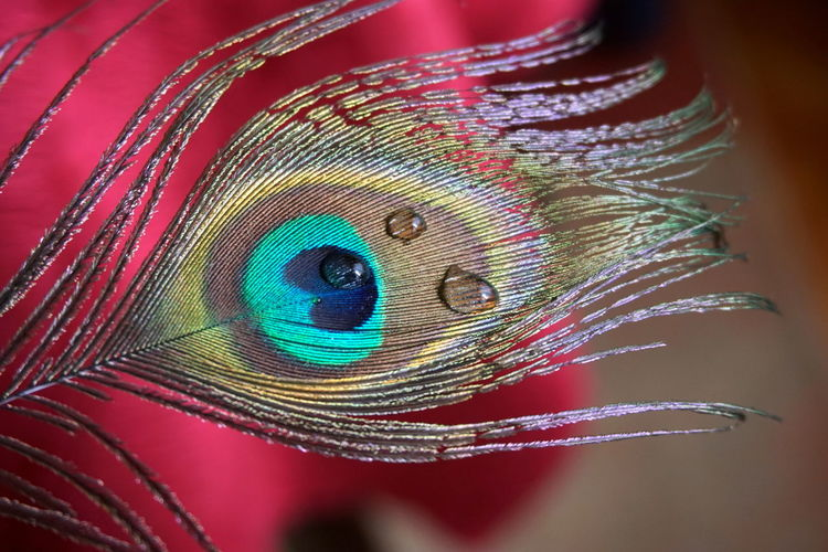 Close-up Feather  Peacock Feather Bird Peacock Multi Colored Fragility Animal Vulnerability  No People Animal Themes Pattern Vertebrate Softness Beauty In Nature Indoors  Natural Pattern Still Life Studio Shot Nature Lightweight Animal Eye