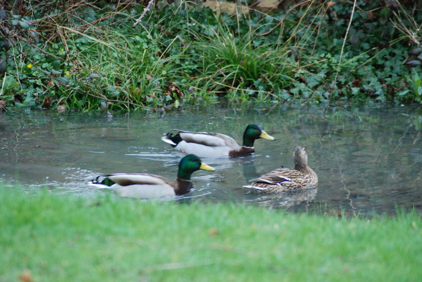 duck pond Backyard Bird Water Swimming Lake Grass Mallard Duck