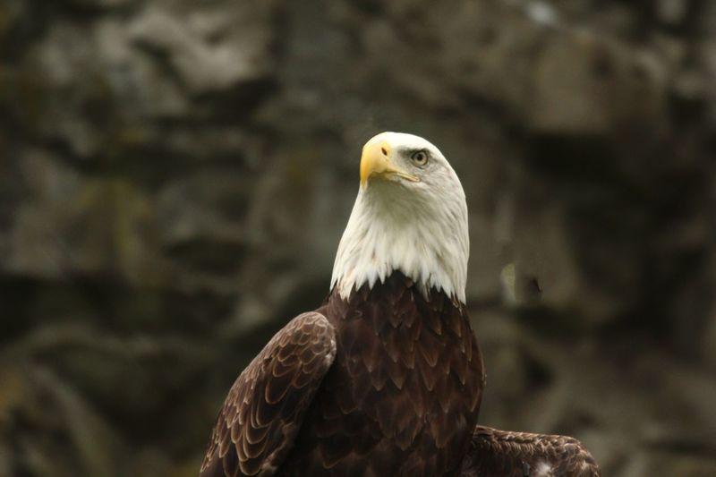 Bald Eagle Close-up Bird Animal Animal Themes Animals In The Wild Animal Wildlife Vertebrate Bird Of Prey