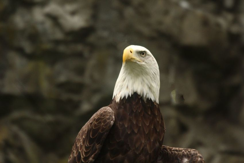 Bald Eagle Close-up Bird Animal Animal Themes Animals In The Wild Animal Wildlife Vertebrate Bird Of Prey