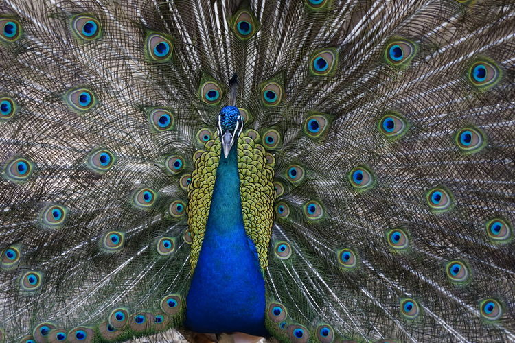 Fanned out peacock standing on field