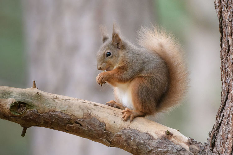 Red Squirell -