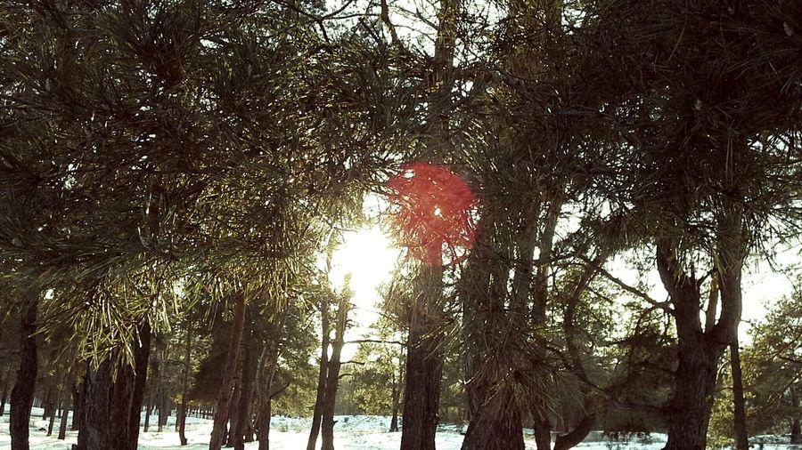 лучи солнца Forest Trees Sun ветви Иголки Snow свет зелень