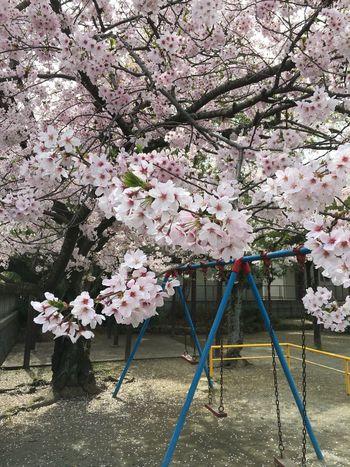 Cherry Blossoms Itoshima City 神社 Youthful Days Spring