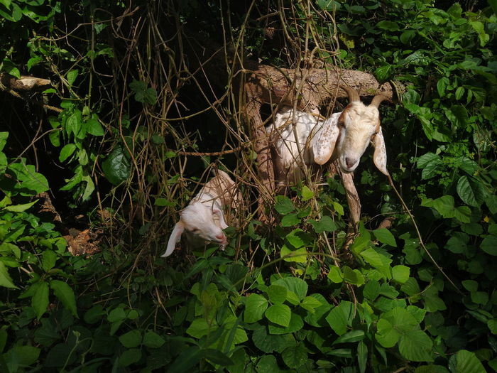 Nature Goat Kid