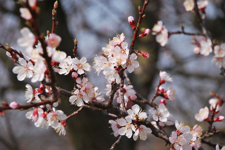 Beautiful Cherry Blossom Tree Cherry Blossom Tree Cherry Blossom Cherry Blossoms Apple Blossom Apple Tree Blossom Blossoms  Botany Branch Cherry Blossom Cherry Tree Close-up First Eyeem Photo Flower Focus On Foreground Fragility Freshness Nature Orchard Outdoors Petal Plum Blossom Spring Springtime Twig