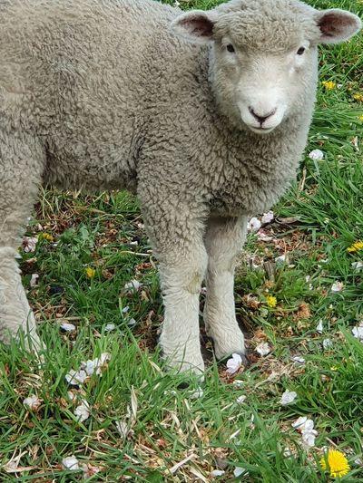 lamb Lamb Sheep