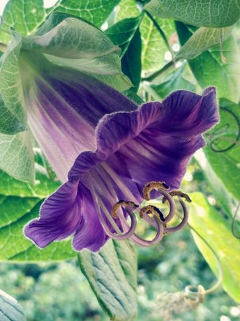 Vintage Glockenrebe Rankpflanze Blooming Flower Balcony Shot Flower Head Flower Leaf Passion Flower Petal Purple Iris - Plant Close-up Animal Themes Plant In Bloom Blooming Plant Life