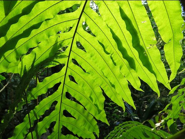 Sunkissed Sunlight Chlorophyll Big Leaf Nature Photography Naturelover Beautiful Nature