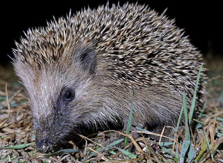 Hedgehog Close-up Otter