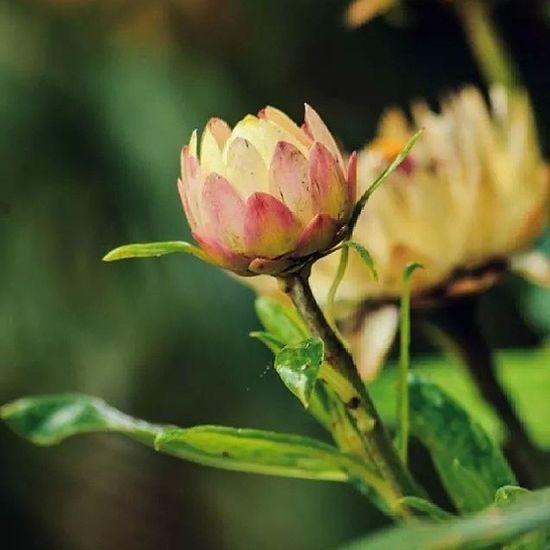Ni je mampu.. Bestestaward Bestnatureshot Bunga Flower seorang sepi tinggal hijau nature green vsco cameronhighland best forest me daun leaves
