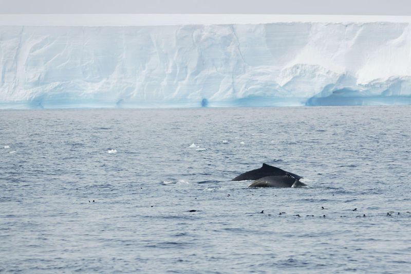 Humback whale with a calf and penguins in front of a tabular iceberg in the Antarctic Sound. Animals In The Wild Antarctic Antarctica Global Warming Humpback Whale Ice Whale Wildlife & Nature Wildlife Photography Animal Animal Themes Animals Blue Calf Climate Change Cold Cold Temperature Iceberg Ocean Penguin Penguins Seascape Tabular Iceberg Whales Wildlife