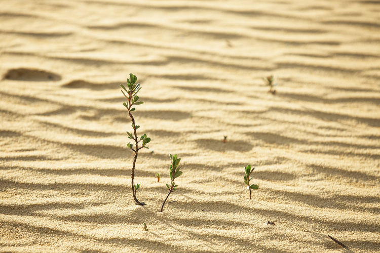 young green frugal plant sprouting out of the sand in a golden backlight and trowing shadow Arid Climate Background Closeup Desert Landscape Desert Plants Desert Sand Dryness Dune Earth Ecology Environment Evening Sunlight Fragility Fresh Fresh Sprout Frugal Frugal Plant Frugality Gold Gold Background Golden Golden Backlight Grass Green Grow Growth Hope Concept Horizontal Leaf Life Natural Nature New Born Plant Plant Plant Sprouting Resistance  Rising Sun Sand Seedling Seedling In The Desert Shadow In The Dune Soil Sprout Survival Trough Shadow Trowing Shadow