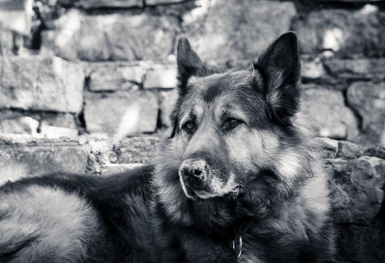 Dog Dogs German Shepherd Animals Bnw Taking Photos