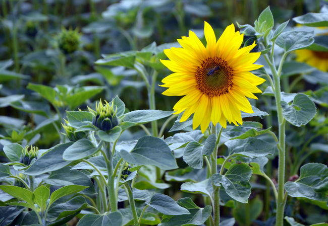 Autumn EyeEm Nature Lover EyeEmNewHere Sunflower Animal Themes Beauty In Nature Bee Blooming Close-up Day Fall Flower Flower Head Fragility Freshness Growth Leaf Nature No People Olefingirl Outdoors Petal Plant Yellow