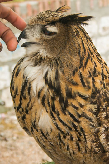 Portrait of man's hand caressing beautiful owl Profile Raptor Adorable Animal Wildlife Animals In The Wild Beauty Beauty In Nature Bird Card Caressing Close-up Fantastic Fauna Feather  Finger Hand Human Body Part Human Hand One Animal Ornithology  Owl Portrait Sweet Wallpaper Wings