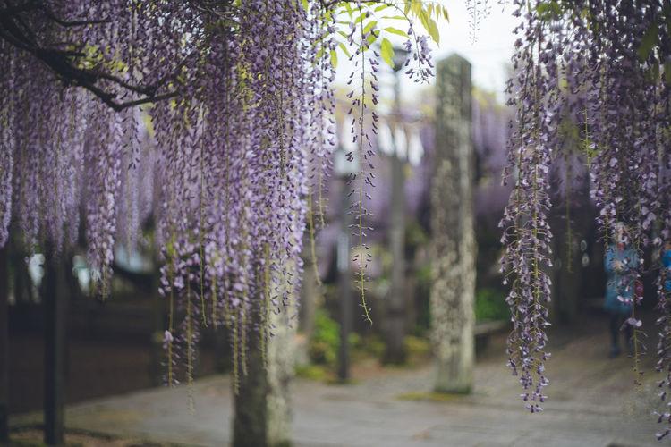 Beautiful wisteria flowers in full bloom. in fukuoka prefecture great wisteria of kuroki
