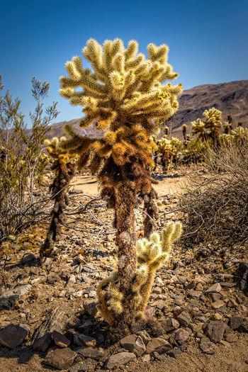 View of cactus growing in desert