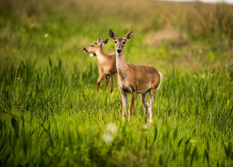 Wildlife Photography Animal Grass Plant Animal Themes Animals In The Wild Green Color Field Animal Wildlife Land Mammal Selective Focus Vertebrate Deer Nature No People Standing Day Growth Young Animal Outdoors Herbivorous Fawn Animal Family