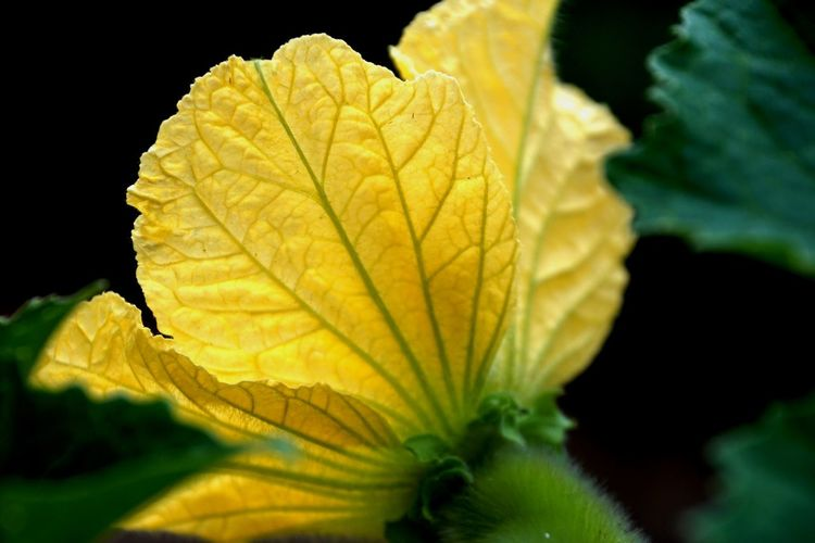 Plant Part Leaf Yellow Close-up Plant Beauty In Nature No People Nature Black Background Growth Leaf Vein Autumn Fragility Green Color Vulnerability  Outdoors Selective Focus Day Freshness Focus On Foreground Change Leaves Natural Condition Yellow Vegetable Flower