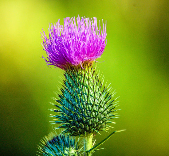 blühende Distel - blooming thistle Beauty In Nature Blooming Blühende Distel Close-up Flower Head Fragility Freshness No People Plant Thistle Violett Flowers EyeEmNewHere The Week On EyeEm Best Shots Hofi Best Pflanzen & Früchte Hofi
