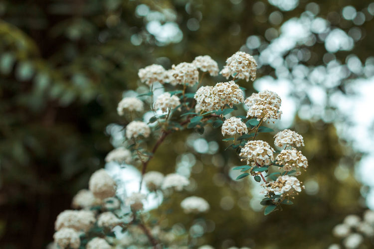 Beauty In Nature Close-up Day Flower Flower Head Flowering Plant Focus On Foreground Fragility Freshness Growth Land Nature No People Outdoors Plant Selective Focus Sunlight Tranquility Tree Vulnerability  White Color