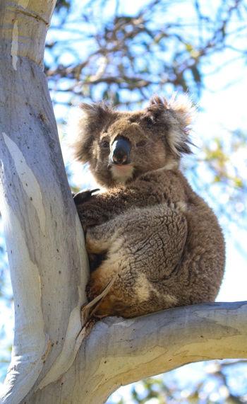 Australia Australian Wildlife Cute Native Day Outside Animal Love Koala Tree Sitting Branch Sky Close-up Bear