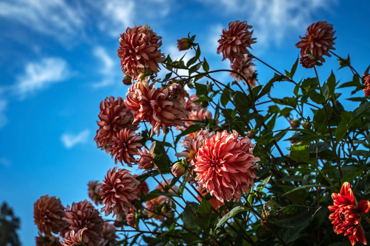 Dahlia flowers named Santa Claus on the island Mainau Nature Flower Dahlia Day Outdoors Blooming Fresh Growth Fragility Santa Claus Petal Freshness Close-up Beauty In Nature EyeEm Germany Dahlias Mainau Getty Images The EyeEm Collection Dahlia Flowers Low Angle View Flower Head Premium Collection
