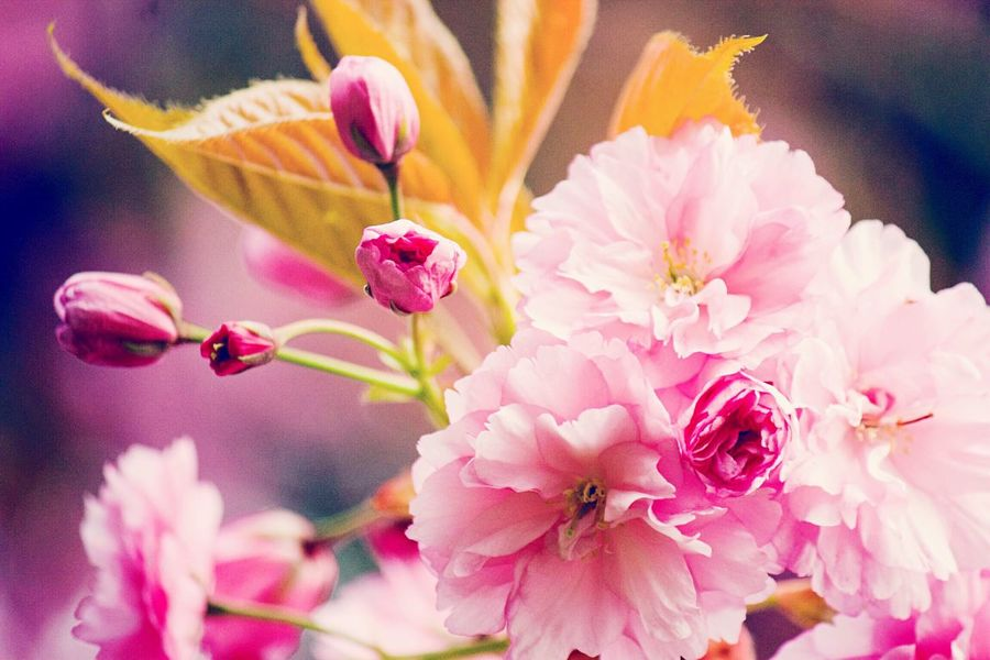 Showcase April Cherry Trees In Blossom Cherry Tree Flower Beautiful Cherry Blossom Beautiful Cherry Tree Spring Has Arrived Spring 2016