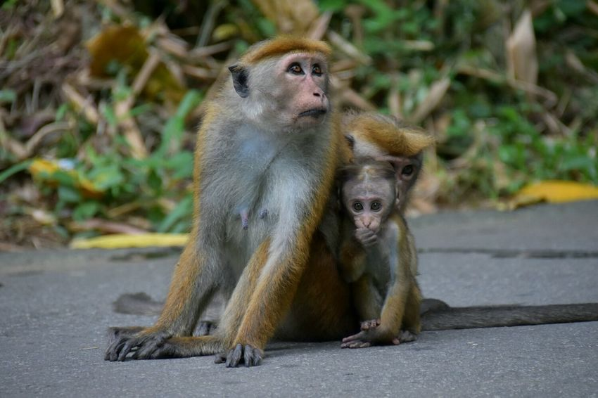 Animal Themes Animals In The Wild Monkey Animal Wildlife Nature Outdoors Primate Togetherness Kandy Sri Lanka Botanical Garden Nikon D7200 SIGMA18_300mm Canoma Photography Affe Ape Domestic Animals Animals In The Wild Animal Family Young Animal EyeEm Masterclass EyeEm Best Shots First Eyeem Photo EyeEm Gallery