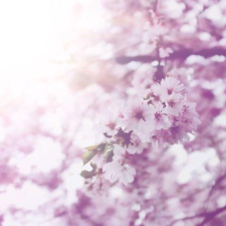 Blossom Spring Blossoms Light Pink