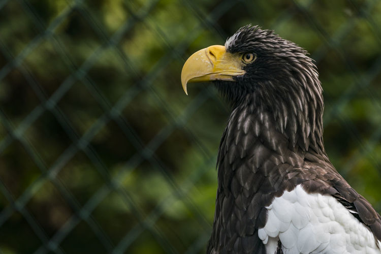 Steller sea eagle against chainlink fence in zoo