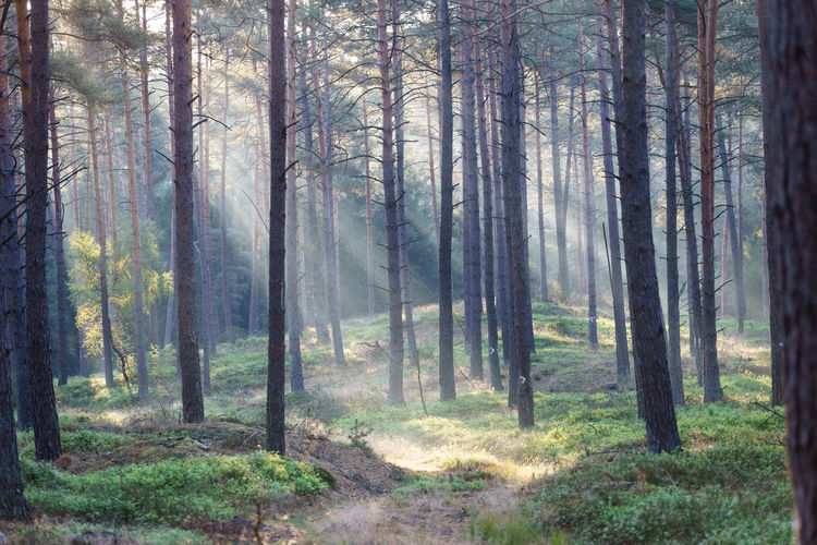 Misty Morning in the Forest Path Plant Beauty In Nature Coniferous Tree Environment Forest Growth Land Landscape Misty Morning Nature Non-urban Scene Pine Tree Pine Woodland Scenics - Nature Sun Beams Tranquil Scene Tree Tree Trunk WoodLand