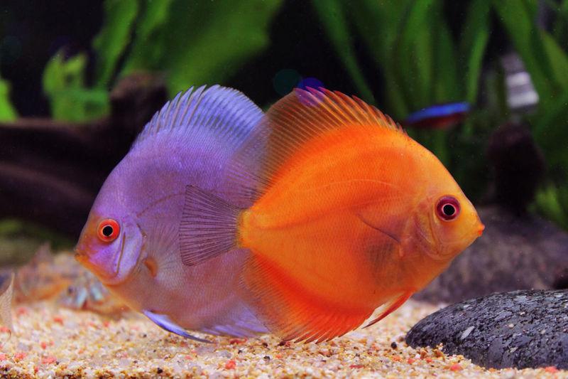 Art Is Portable With Caseable Aquarium Discus Discusfish