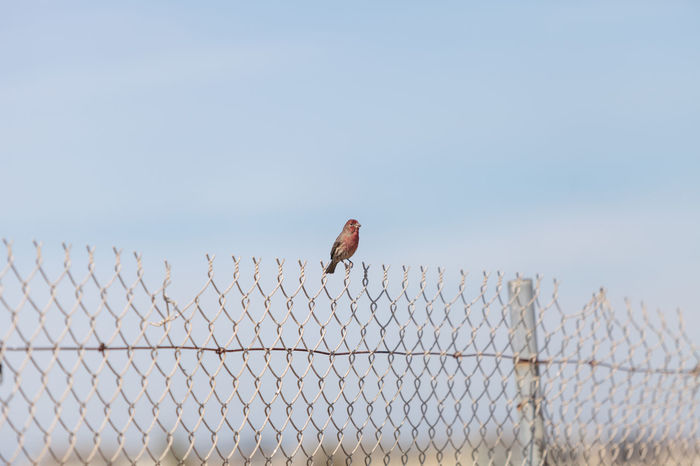 Male house finch bird with a red head sits on a fence ready to fly off at a marsh in Southern California in the United States Bird Day Fence Finch Flying Horizontal House Finch No People Outdoors Sky Wildbird