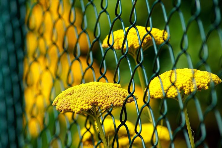 Close-up of yellow yarrow flowers growing by fence at park